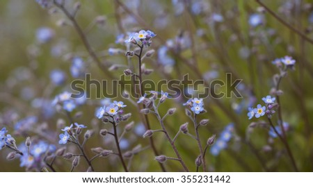 Stock photo of forget-me-not blooming outdoors. Very shallow DOF. - stock photo