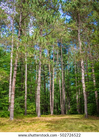 Stock photo of pines in the forest