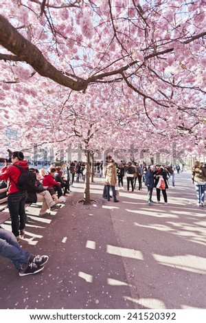 Stockholm, Sweden - April 29, 2012: Kungstradgarden (King's Garden) is a park in central Stockholm. In late April this park offers a stunning display of cherry blossom for about a week. - stock photo