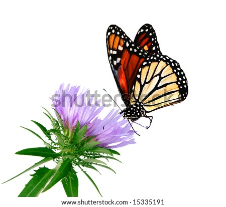 Stoke Aster flower and monarch butterfly isolated on white - stock photo