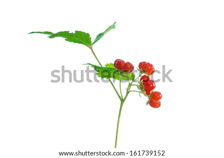 Stone Bramble (Rubus saxatilis) berry on stem isolated on white background - stock photo