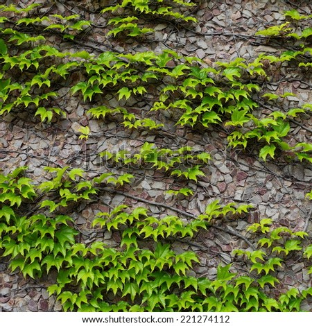 Stone wall covered in ivy - stock photo