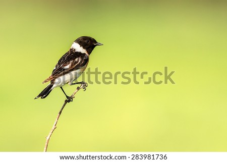stonechat bird - stock photo