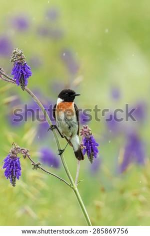 stonechat bird - stock photo