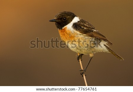 Stonechat on a branch