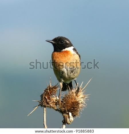 Stonechat perched on thorn bush - stock photo