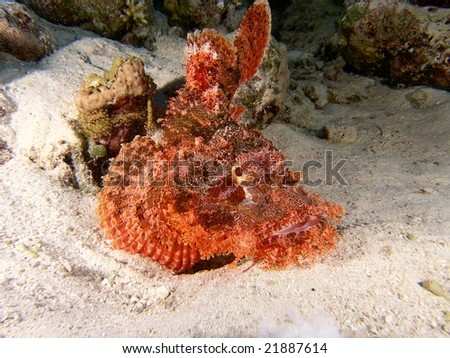Stonefish on the reef