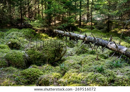 Stones and fallen dry tree covered with moss lying in dense forest - stock photo