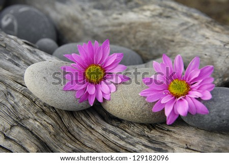 Stones and two gerbera flower on Driftwood texture