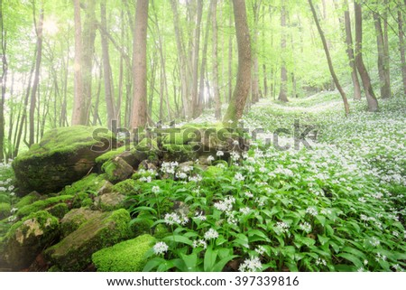 Stones  laying in the forest with lot of moss . Sunbeams shine trough the trees.