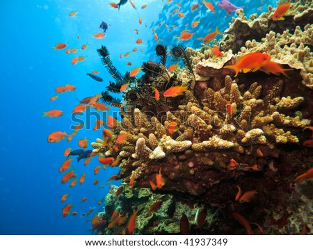 Stony Coral Colony and soldier fish Great Barrier Reef Australia - stock photo