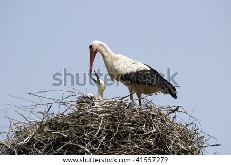 Stork family on the nest - stock photo
