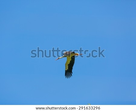 Stork flying on blue sky background. Beautiful stork bird photographed in Poland - stock photo