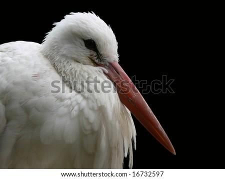 Stork on black background - stock photo