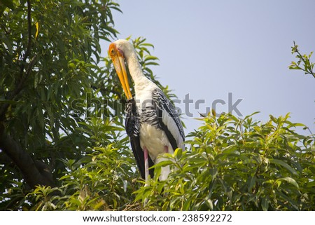 Stork on the branches of tre tree. Shore of the South-Indian river Kaveri