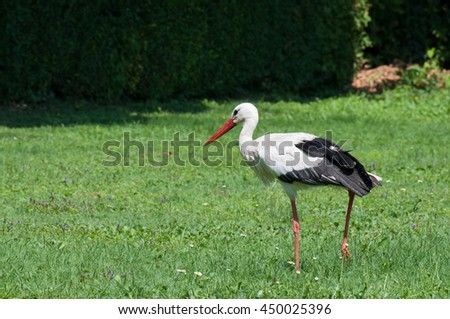 Stork on the grass