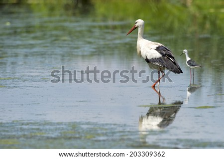 Stork portrait while reflecting on swamp water background - stock photo