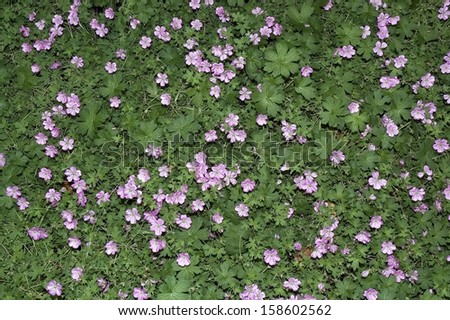 Stork's bill is a member of the geranium family. It makes pretty carpets of purple flowers. - stock photo