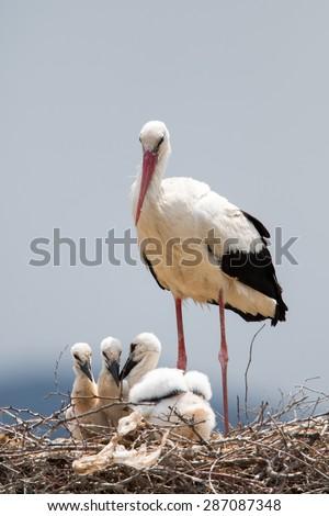 stork baby birds nest stock photo edit now 287087348 shutterstock