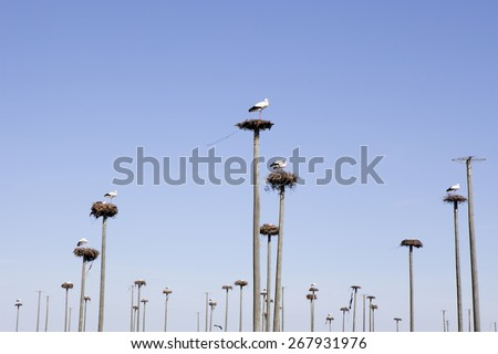 Storks colony in a protected area of Malpartida de Caceres, Spain - stock photo