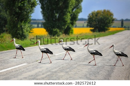 storks cross the road the highway in rural areas - stock photo
