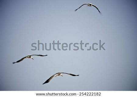 Storks flying with blue and clear sky - stock photo