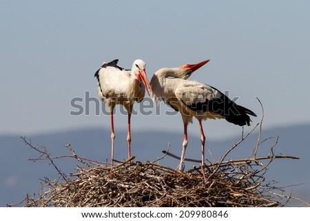 Storks in their nest - stock photo