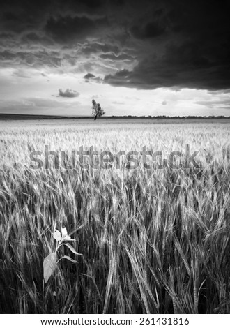 Stormy clouds above the wheat field with  sunflower and lonely tree on a skyline. Monochrome colors - stock photo