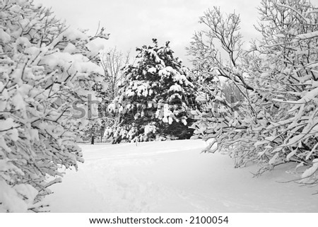 Stormy pine tree covered with fresh snow - stock photo
