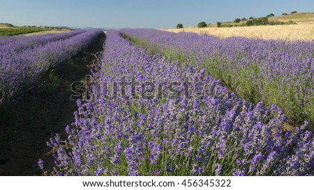 Straight rows of brightly colored lavender in bloom on a clear sunny summer day. - stock photo