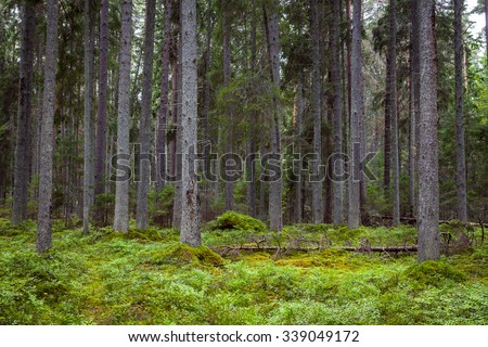 Straight trunks of pine in the virgin forest. Lahemaa national park, Estonia