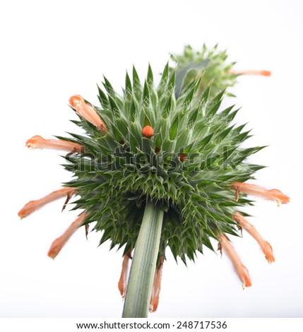 Strange, exotic, thorn flower - stock photo