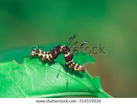 Strange looking caterpillar crawling on a leaf feeding - stock photo