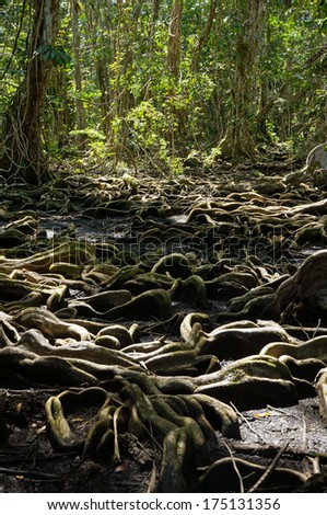 Strange tree roots in the tropical forest of Panama, Bocas del Toro, Caribbean - stock photo
