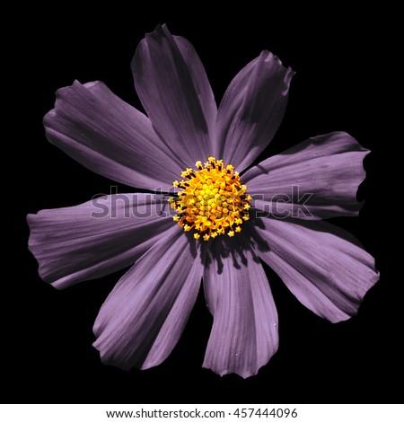 Strange violet surreal flower Primula macro isolated on black - stock photo