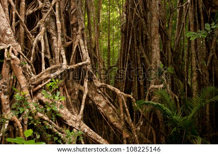 Strangler Fig (cathedral fig) near Yungaburra, Atherton Tablelands, North Queensland, Australia - stock photo
