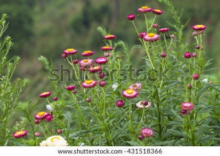 Straw flower field at the top of mountain in the north of Thailand. - stock photo