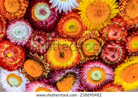 straw flower or everlasting in the market at Thailand(Helichrtsum bracteatum , (Vent.) Andr.) - stock photo