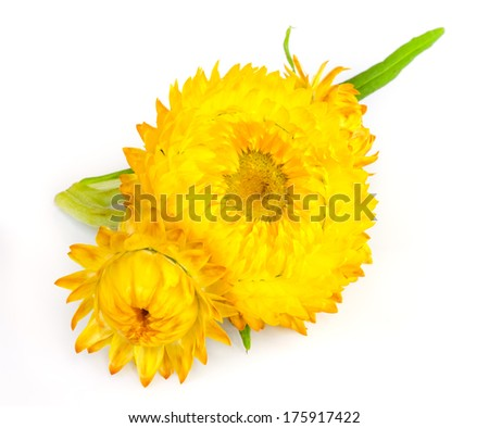 straw flower or everlasting isolated on white background .