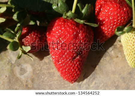 Strawberries AKA Fragaria Ã?Â? ananassa, or garden strawberry, is a hybrid species that is cultivated worldwide for its fruit, growing in a Strawberry Field in Southern California