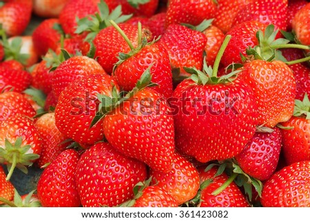 Strawberries being grown commercially on irrigation system