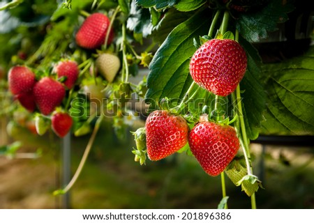 Strawberries being grown commercially on table top irrigation system. - stock photo