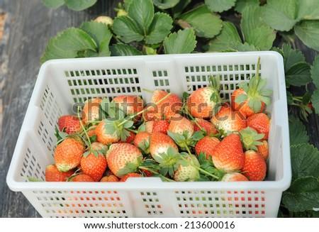 strawberries in white plastic punnet - stock photo