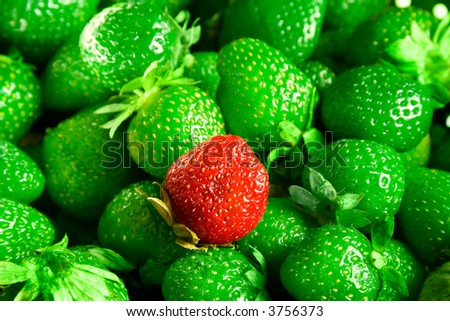 Strawberries mutant. Abnormal green strawberries and only one red. - stock photo