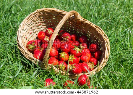 Strawberries scattered from wicker basket on the grass