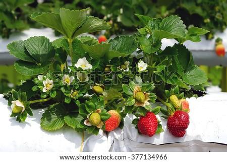 Strawberry farm ih Cameron Highlands, Malaysia. - stock photo