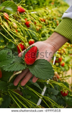 Strawberry farm in japan that you can pick it up by yourself. - stock photo