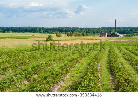Strawberry farm in the countryside in the summer.