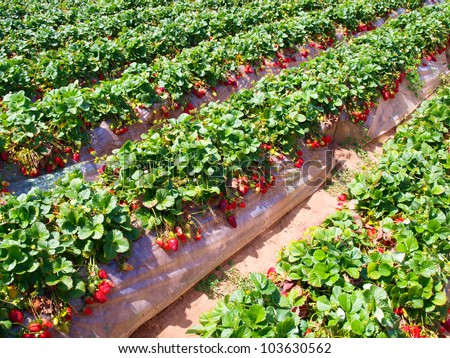 Strawberry field Stock... Summer Camp Vector