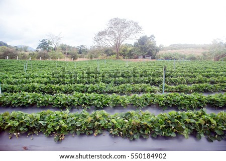 Strawberry field agricultural garden in Thailand.